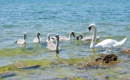Free Swan Family Stock Photography - 42015782