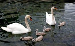 Free Swan Family Stock Image - 43295391