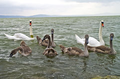 Free Swan Family Stock Photos - 47312463