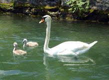 Swan family. Mute swan and two chicken Stock Photo