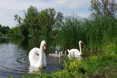 Free Swan Family Royalty Free Stock Images - 73666219