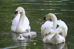 Free Swan Family Royalty Free Stock Photography - 927437