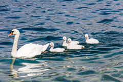 Swan family with babies Royalty Free Stock Image