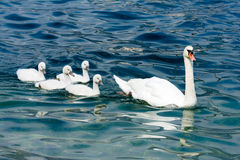 Swan family with babies Stock Photography