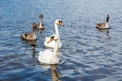 Swan family with babies Stock Images
