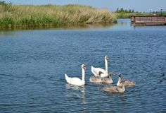Swan family with baby birds in a lagoon of the Baltic Sea. Settlement Amber, Kaliningrad region.  Stock Photography