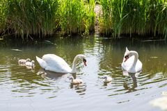 Swan family with baby chicks children kids swans. Stock Images