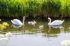Swan family with baby chicks children kids swans. Swan family. Father swan mother swan and baby chicks children kids swans. Birds floating on water in a pond in Stock Photos