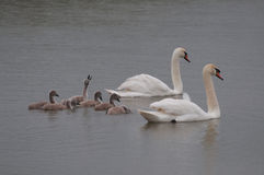 Swan family and chick calling for attention Stock Image