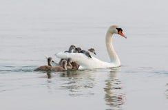 Swan family Royalty Free Stock Photos