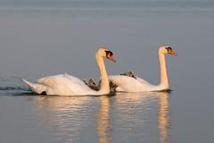 Swan family Stock Photo