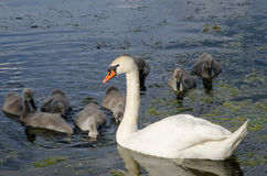 Swan family Stock Photo