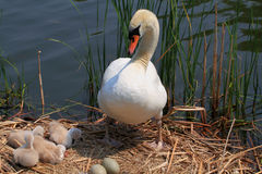Swan family and eggs in the nest. Stock Photo