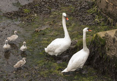 Swan family at Falmouth harbour in Cornwall Royalty Free Stock Photography