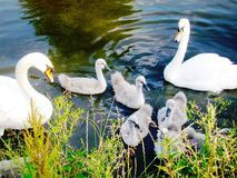 Swan family. We are family. stock photo