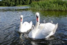 Swan family. Father swan mother swan and swan`s chicks together. This is an image taken of a family of swans heading down a canal Royalty Free Stock Photo