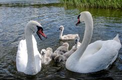 Swan family. Father swan mother swan and swan`s chicks together. This is an image taken of a family of swans heading down a canal Royalty Free Stock Photos
