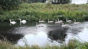 Swan family float on a river. Happy swan family float on a river for meet their other friends stock video footage