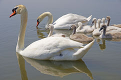 Swan family floating on the water Stock Images