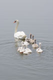 Swan family floating on the water. A swan family floating on the water.  They go marching Stock Photos