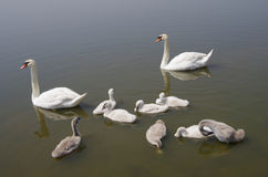 Swan family floating on the water Royalty Free Stock Photo