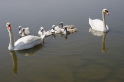 Swan family floating on the water Stock Photo