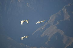 Swan family fly over mountain Royalty Free Stock Image