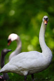 Swan Family in Forest Setting Royalty Free Stock Photography
