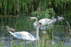 Free Swan Family In The Sedge Thickets Royalty Free Stock Photo - 182575425