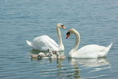Swan family in the lake. The parents and the children of the swans in the lake Royalty Free Stock Photography