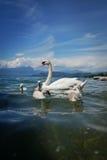 Swan family. On a lake Royalty Free Stock Photo