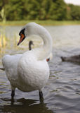 The swan royalty free stock photos