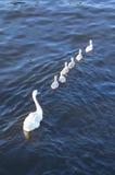 Swan family Royalty Free Stock Photography