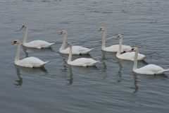Swan family in lake royalty free stock photography