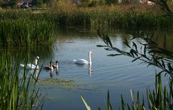 Swan family. The swan family on the lake in the morning swim in search of food.  Excellent photo that can be used to create billboards, gift cards, calendars Stock Photo