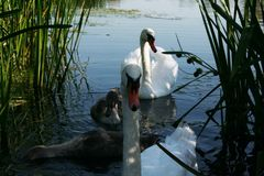 Swan family Stock Images