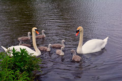 Swan family in the lake, Norfolk, United Kingdom. Swan family swimming in the lake, Norfolk, United Kingdom royalty free stock image