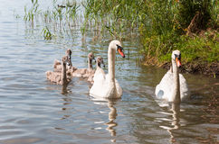Swan family on a lake Royalty Free Stock Photo