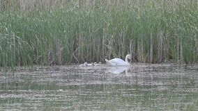 Swan family stock video footage
