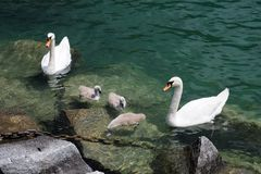 Swan family on Lugano lake, Switzerland Stock Image