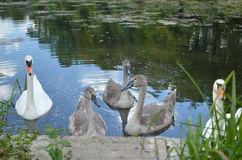 Swan family. Mama and papa swans and their ugly ducklings (a.k.a. baby swans) in a pond Stock Image