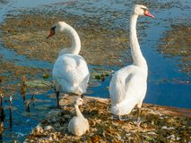 Swan Family, Mom Dad and Baby. A white trumpeter swan family of a mom, dad and baby swan on the lake stock photography