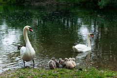 Swan family , mother, father and six small baby swans. Swan family on the lake, mother, father and six small baby swans royalty free stock photo