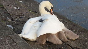 Swan Family. Mother Swan sheltering her young from the wind Royalty Free Stock Images