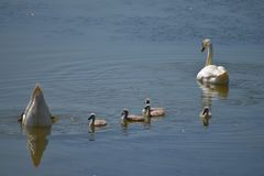 Swan family. Mother swan and baby chicks children kids swans. Birds floating on water. Swan sinks under water. Swan family. Mother swan and baby chicks children royalty free stock photography