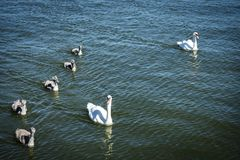 Swan family. Mother swan and baby chicks children kids swans. Birds floating on water. Swan sinks under water. Photo taken in Lithuania stock images