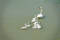Swan family. Mother swan with young swans swimming on the lake Stock Photography