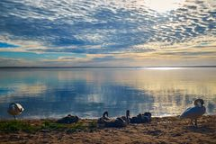 Swan family near the lake over colourful sunrise royalty free stock images