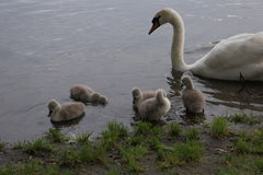 Swan family from nest to brooding to chicks. A family of swan pictured in the complete reproduction cycle from nest to brooding to the birth of chicks Stock Photography