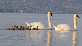 Swan family stock video